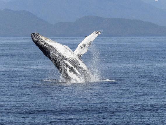 las-ballenas-jorobadas-trabajan-como-guardaespaldas-de-otras-especies_ampliacion-(1)